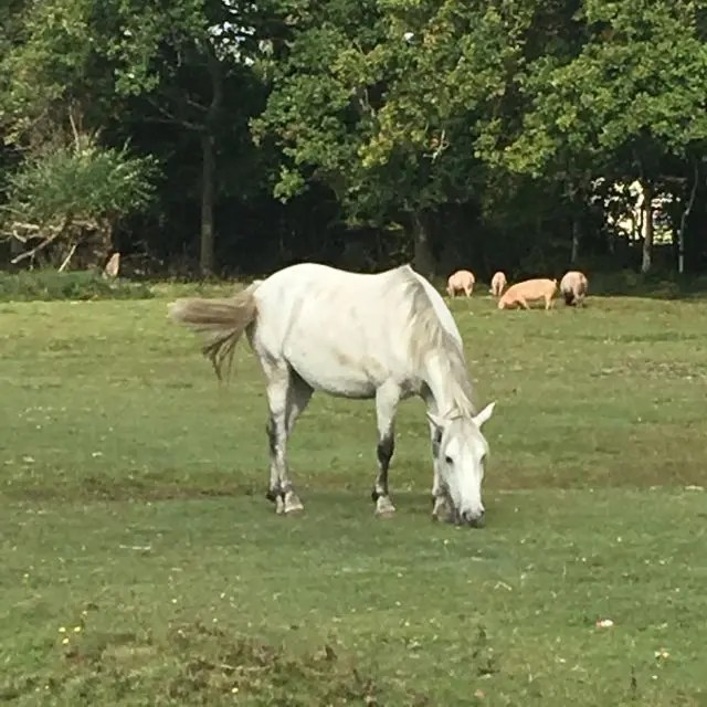 Horse grazing in the New Forest with Pannage pigs behind
