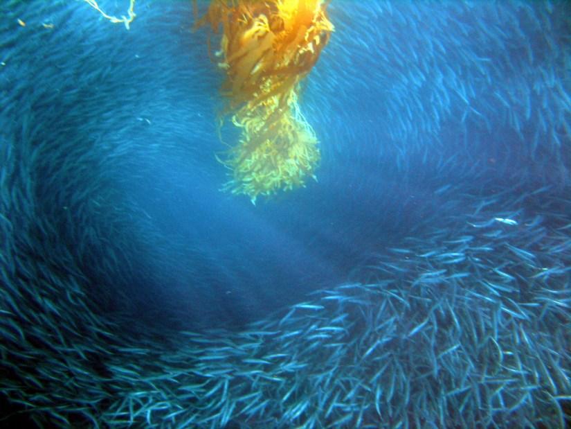 Bait ball around kelp in Channel Islands