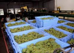 Cooperativa Vinícola Garibaldi projeta safra de 19 milhões de quilos de uva