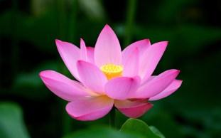 Japanese Lotus Flower