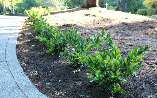 laurel-hedge-
