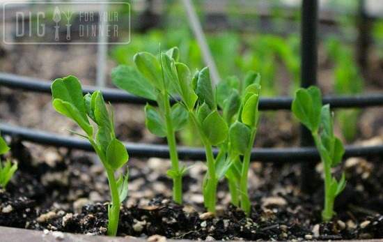 sugar-snap-pea-shoots