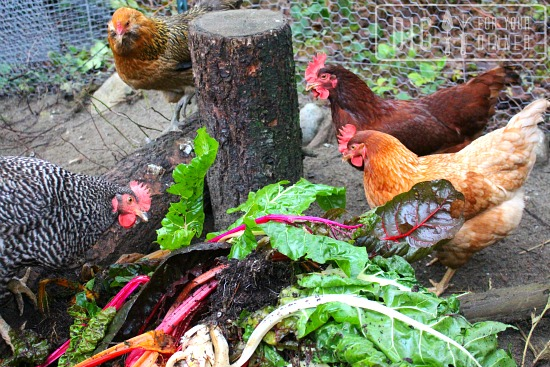 chickens eating swiss chard