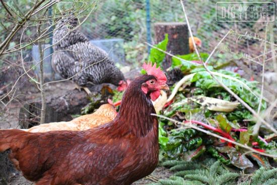 rhode island red chicken hen