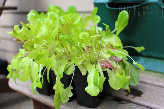 lettuce starts