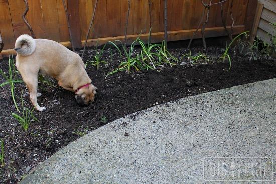 lucy puggle potato garden