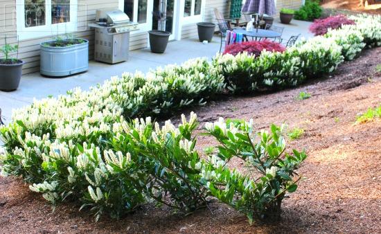 laurel hedge in bloom