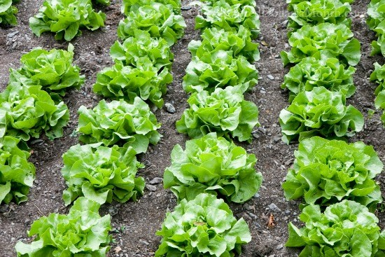 lettuce-growing-in-rows