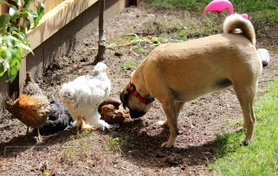 lucy puggle and chicks