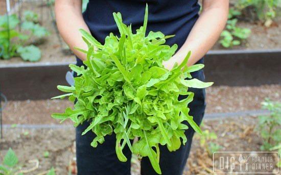 oak-leaf-lettuce