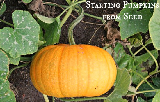 Pumpkin-French-Cinderella-HEIRLOOM-Seeds-picture