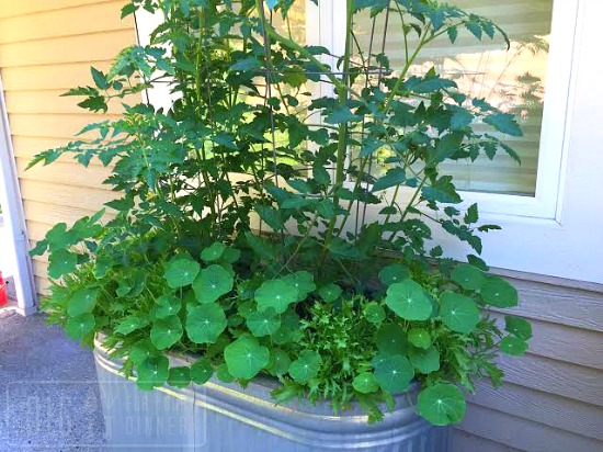 growing nasturtiums in containers