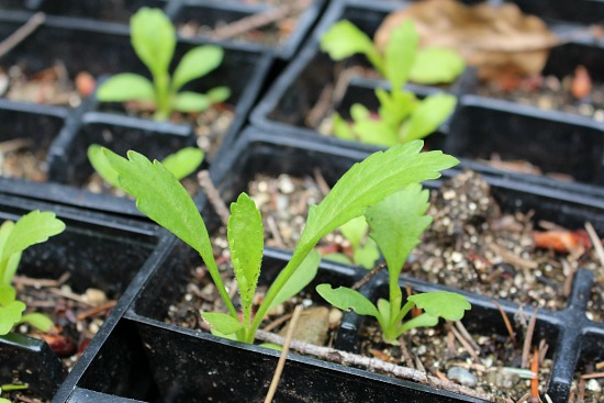 shasta daisy seedlings