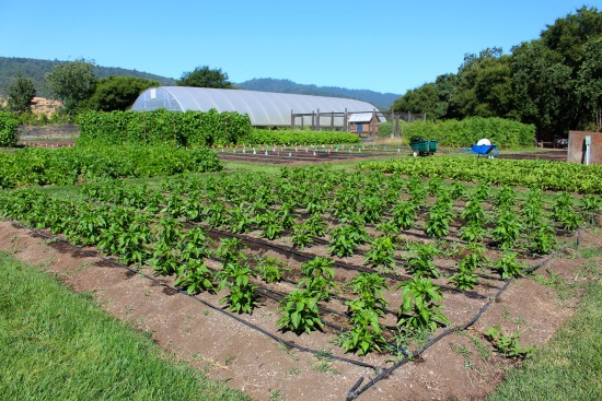 the french laundry pepper plants