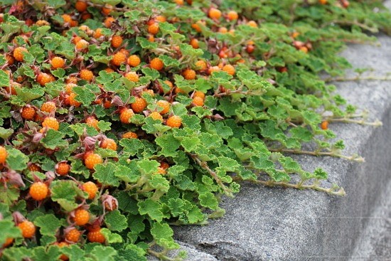 orange trailing ground berries