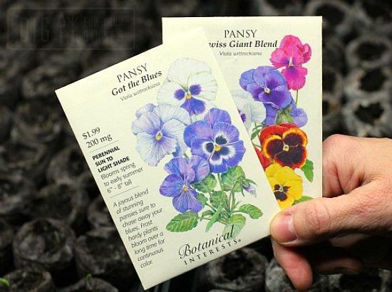 purple-pansy-seeds