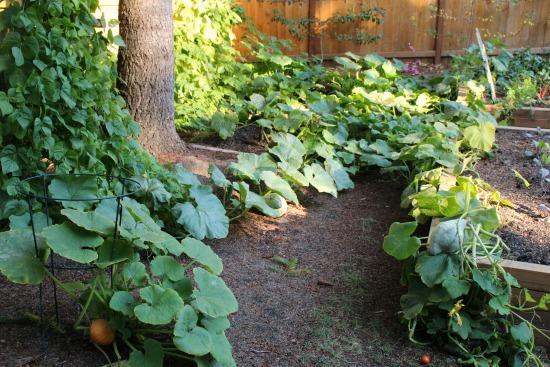 squash-vines