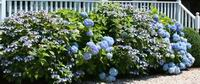Hydrangea macrophylla...blue lace and Nikko blue in full bloom.