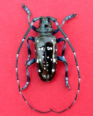 Asian longhorn beetle - male