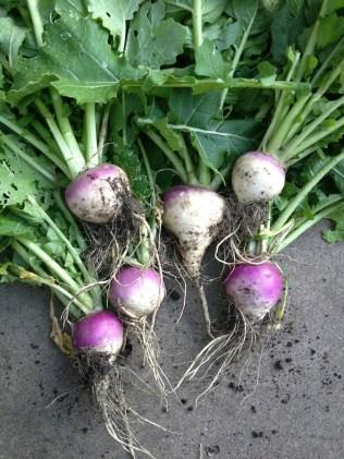 Purple Top Milan turnips