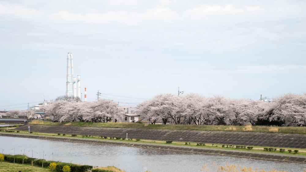 海蔵川の桜