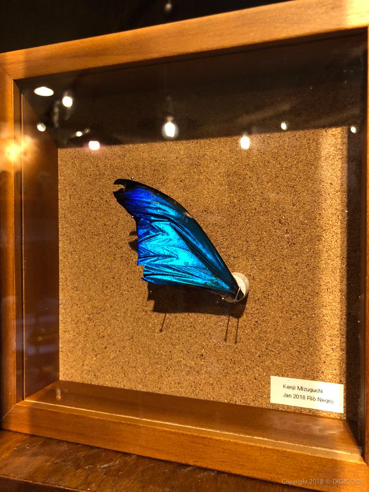 年末のブラジル紀行で拾った蝶の羽