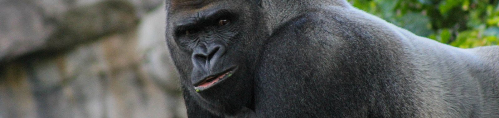 a Black Gorilla staring into the photo