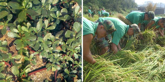 인간이 '잡초'라고 규정한 쇠비름(사진 왼쪽)과 '작물'로 과잉보호를 받다 보니 장마나 태풍에 쓰러진 벼.