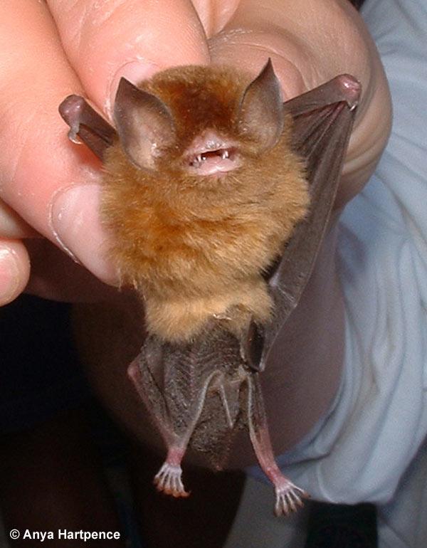 Natalus Stramineus Mexican Funnel Eared Bat
