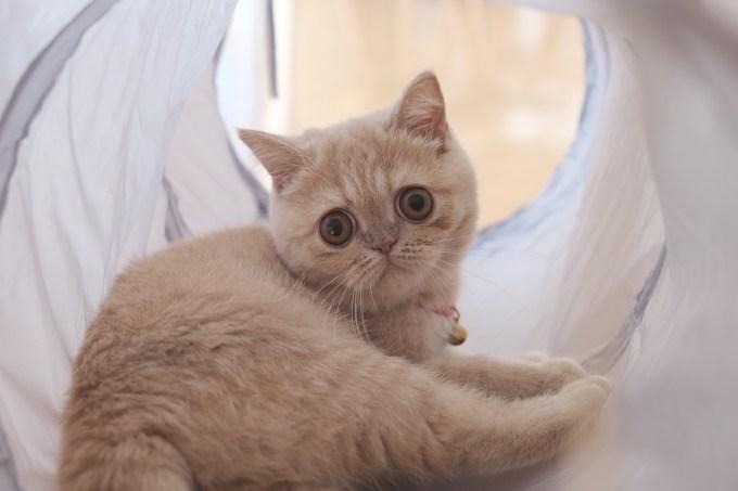 3coins スリーコインズ キャットトンネル エキゾチックショートヘア 猫