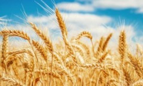 5-manfaat-dari-mengonsumsi-barley-secara-rutin