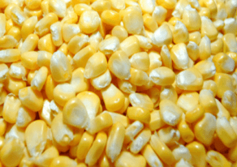 pemanfaatan jagung