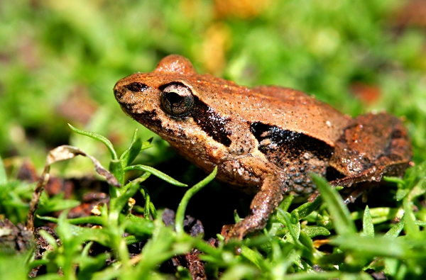 Eastern-Common-Froglet