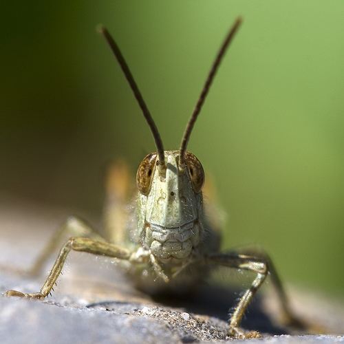 Grasshoper macro photography. Image by macropoulos