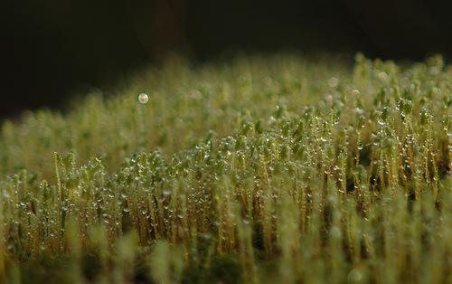 Rain drops on moss