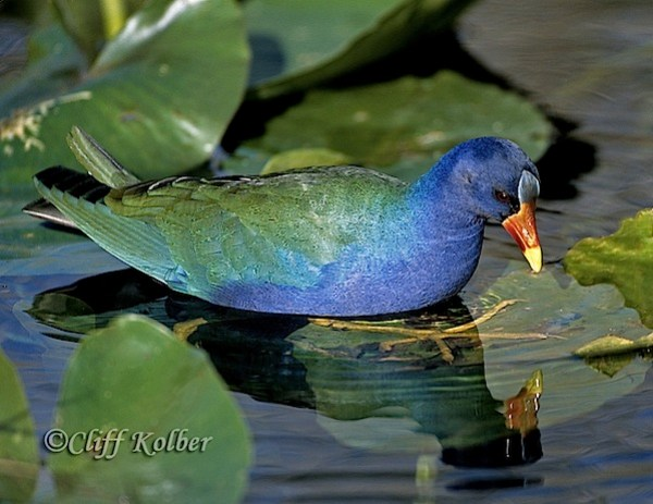Cliff Kolber_Purple-Gallinule-3.jpg