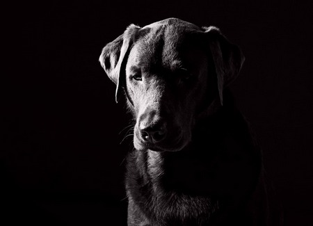 Sad Labrador by Justin Paget