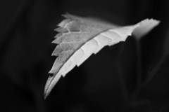 Black and White Leaf (by N3squick)