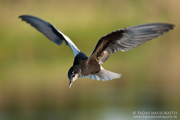 Image: In this example you can see that this White-winged Tern has both black and white feathers, bu...