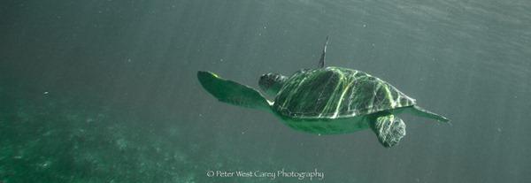 Sea Turtle Leaving The Scene