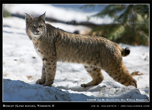 Wild Bobcat nature photo by Jim M. Goldstein
