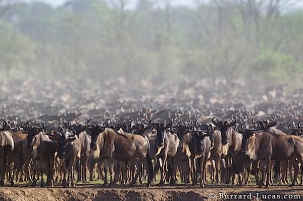 wildebeest_herd.jpg