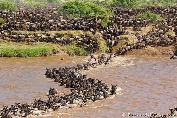 wildebeest_migration_curve.jpg