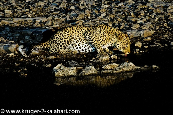 Etosha-Leopard_drinking-HalaliCamp.jpg