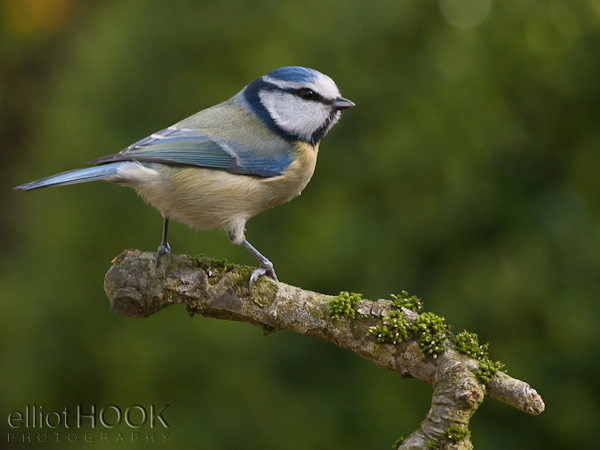Image: The blue tit, taken at 300 mm, f/10, from approx. 3 m. Bird and perch sharp throughout, with...