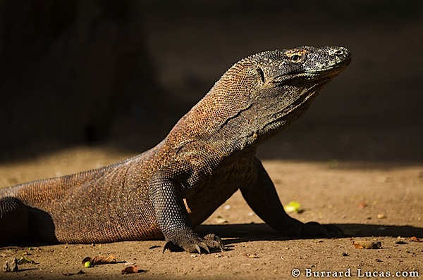 Photographing Komodo Dragons
