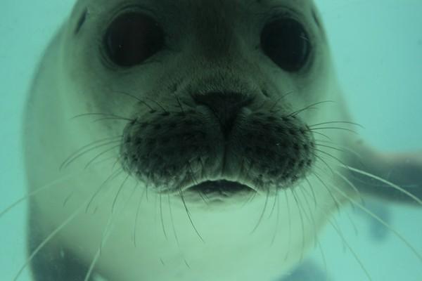Image: Curious Seal - Copyright Hugo