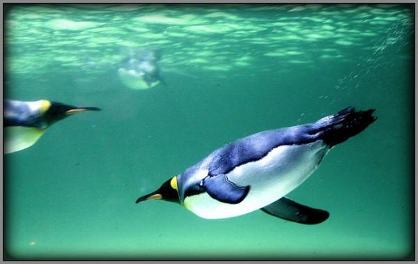 Image: Underwater flight - Copyright Bill Harrison