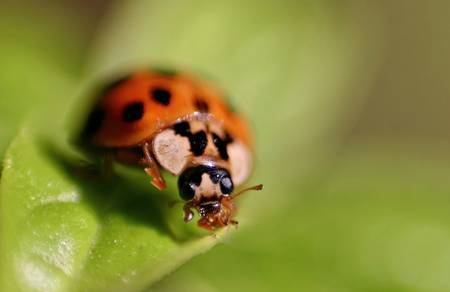 Image: ladybird extreme closeup by Gianni Cerrato