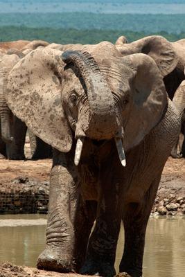 Aggresive Elephant(Ferguson)